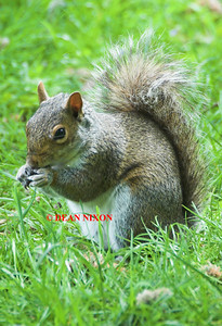 GREY SQUIRREL 0269