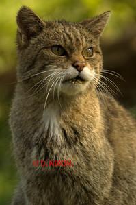 WILD CAT 0325