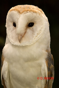 BARN OWL 0331