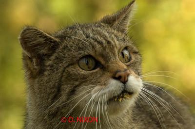 WILD CAT 0326