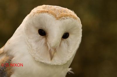 BARN OWL 0307