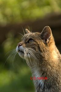 WILD CAT 0321