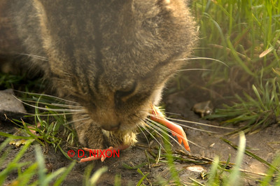 WILD CAT EATING CHICKEN 0323