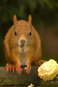 RED SQUIRREL 0316