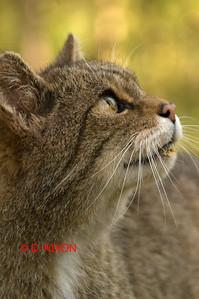 WILD CAT 0324