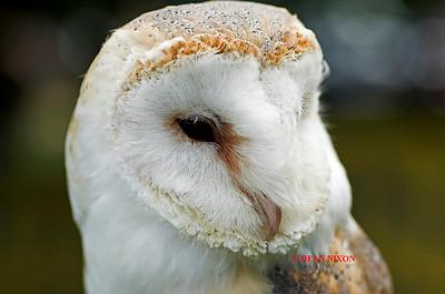 BARN OWL 0149