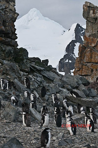 CHINSTRAP PENGUINS ON HALF MOON ISLAND - 0404