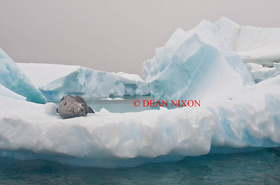 LEOPARD SEAL ON AN ICEBERG IN PLENEAU BAY - 0412