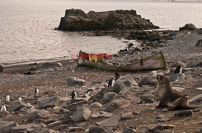 FUR SEAL AND CHINSTRAP PENGUINS ON HALF MOON ISLAND - 0405