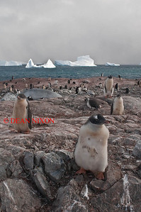 GENTOO PENGUINS ON COUVERVILLE ISLAND - 0417