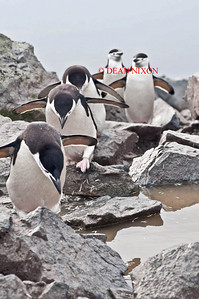 CHINSTRAP PENGUINS - 0433