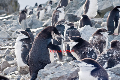 CHINSTRAP PENGUINS - ADULT AND YOUNG SQUABBLING - 0437