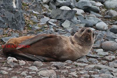 FUR SEAL - 0395