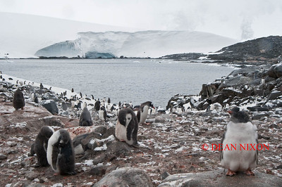 GENTOO PENGUINS AT PORT LOCKROY - 0421