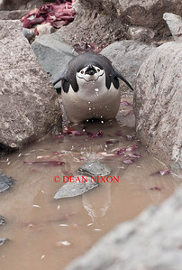 CHINSTRAP PENGUIN DRINKING - 0430