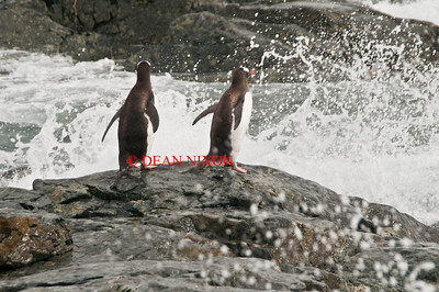 GENTOO PENGUINS ON COUVERVILLE ISLAND - 0420