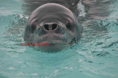 LEOPARD SEAL - 0408