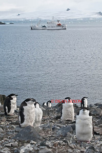 CHINSTRAP PENGUINS WITH GRIGORIY MIKHEEV IN THE BACKGROUND - 0407