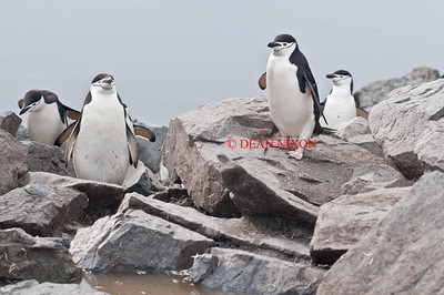 CHINSTRAP PENGUINS - 0434
