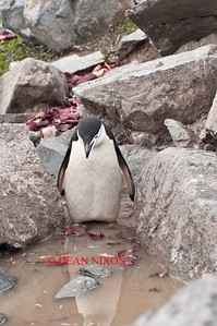 CHINSTRAP PENGUIN - 0431