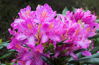RHODODENDRON 0033