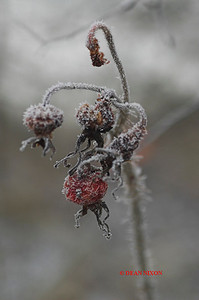ROSEHIP COVERED IN FROST 0182