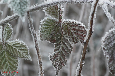 BLACKBERRY LEAF COVERED IN FROST 0182