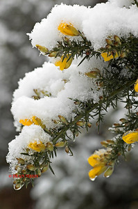 GORSE WITH SNOW 0168