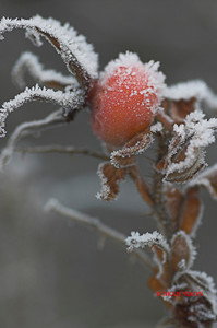 ROSEHIP COVERED IN FROST 0189