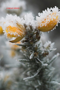 GORSE COVERED IN FROST 0184