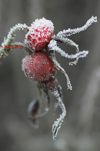 ROSEHIP COVERED IN FROST 0190