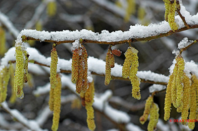 ALDER CATKINS WITH SNOW 0173