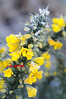 GORSE WITH FROST - 0345