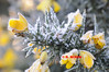 GORSE WITH FROST - 0338