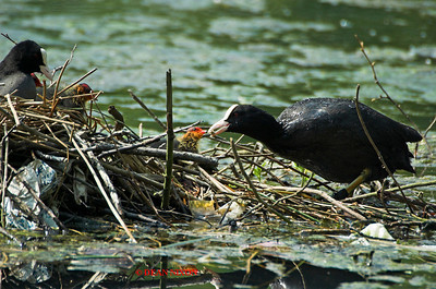COOT 0037