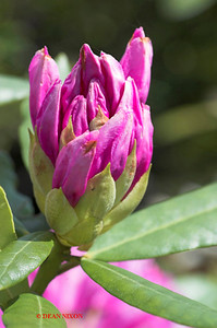 RHODODENDRON 0034
