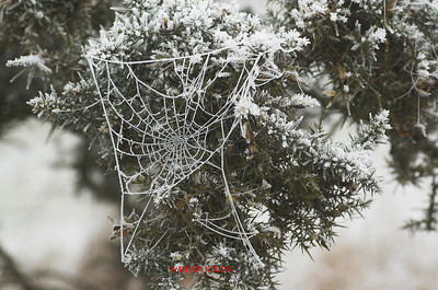 GORSE WITH SPIDERS WEB COVERED IN FROST 0192