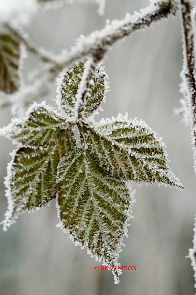 <b>BLACKBERRY LEAF IN FROST 0196</b>