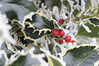 HOLLY AND BERRIES WITH FROST - 0349