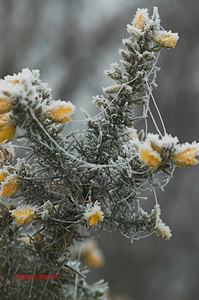 GORSE WITH SPIDERS WEB COVERED IN FROST 0186
