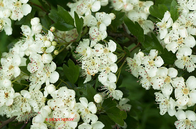HAWTHORNE TREE 0028