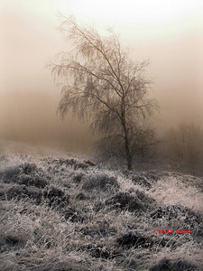 SILVER BIRCH ON FROST MORNING 0133