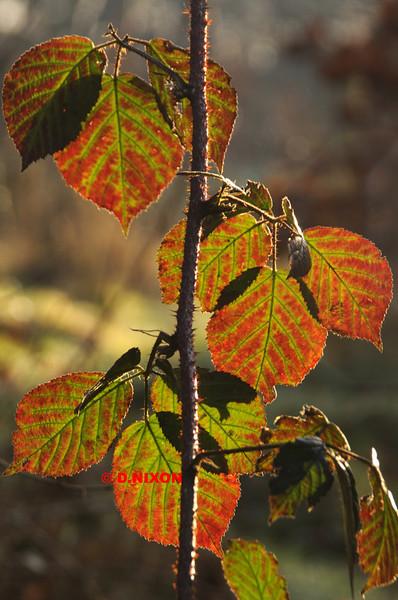 BLACKBERRY LEAVES IN WINTER - 0340