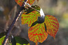 BLACKBERRY LEAVES IN WINTER - 0341