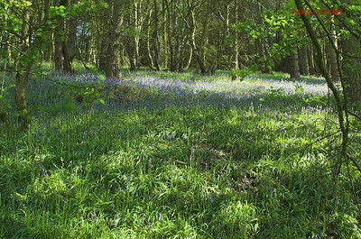 BLUEBELLS AT DANEBRIDGE, CHESHIRE 0064