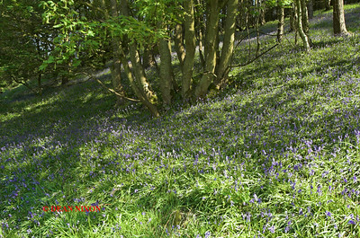 BLUEBELLS AT DANEBRIDGE, CHESHIRE 0083