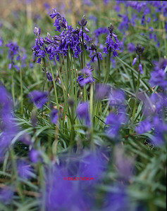BLUEBELLS AT DANEBRIDGE, CHESHIRE 0214