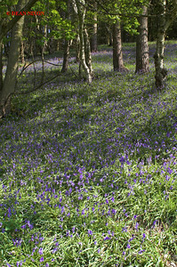 BLUEBELLS AT DANEBRIDGE, CHESHIRE 0062