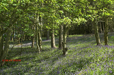 BLUEBELLS AT DANEBRIDGE, CHESHIRE 0079