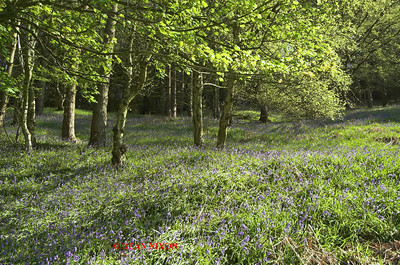BLUEBELLS AT DANEBRIDGE, CHESHIRE 0082